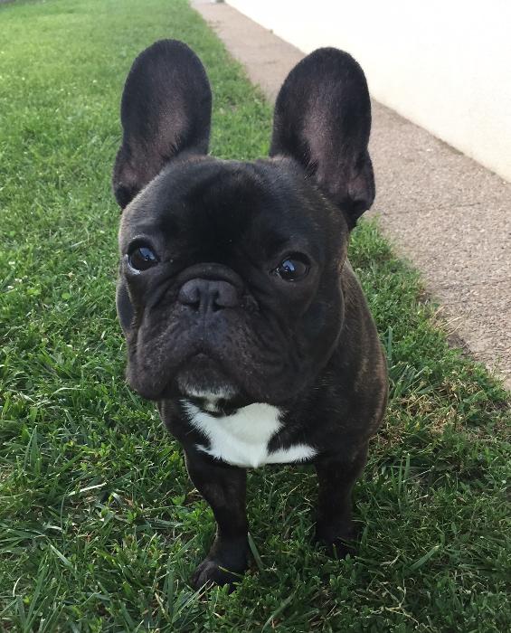 Hund Bulldogge Fin 2j Bauchspeicheldrüse Giardien Pankreatitis